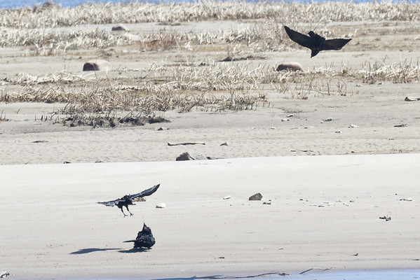 Two crows mobbing a raven on the sandbar in the Moose River. Cropped shots to illustrate behaviour.