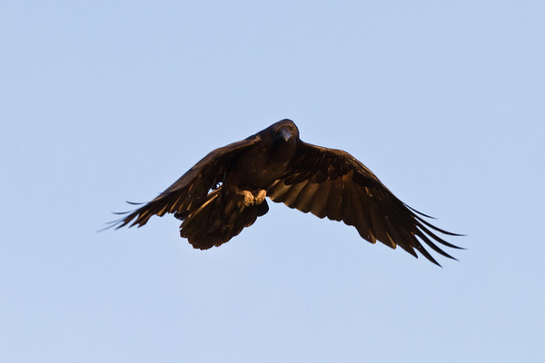 Raven approaching, wings partially down.