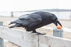 Raven picking up egg from post on parking lot railing.