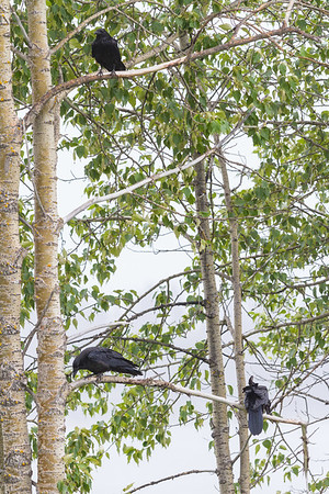 Three (out of a total of five) ravens in clump of trees.
