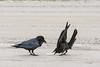 Juvenile raven picking up food it induced adult raven (left) to drop.