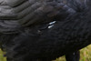 Exposed shaft of feathers on raven.