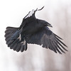 Raven in flight, feet out, wings out and pointing down.