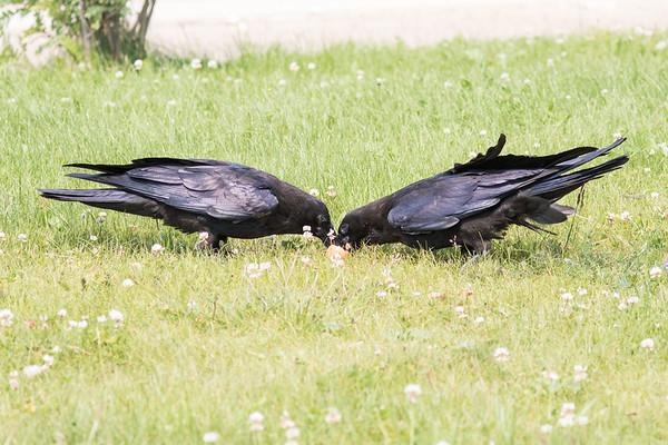 Two juvenile ravens eating.