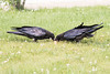 Two juvenile ravens eating.