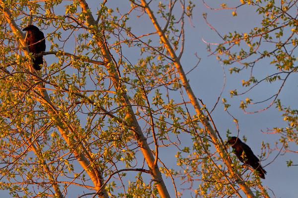 Ravens in a tree around sunrise