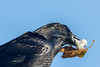 Raven with lard in its beak to which a leaf has become stuck.