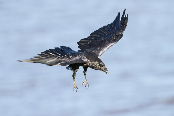 Raven in flight over water.