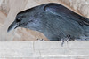 Raven perched on a roof truss member inside shelter above public docks site in Moosonee.