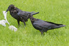 Two wet ravens, adult at left, juvenile at right.