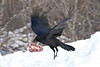 Raven in flight, close to ground, carrying piece of meat (kidney)