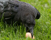 Raven picking up an egg.