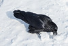 Raven using its beak to dig in the snow.