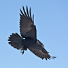 Raven in flight, wings outstretched, feet extended, looking down while descending.