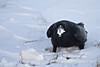 Common Raven enjoying a block of lard.