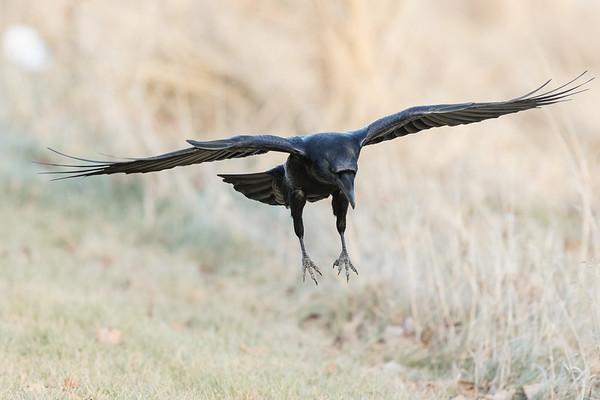 Raven landing, feet out.