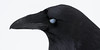 Raven headshot, nictating membrane over eye. Beak somewhat out of focus.