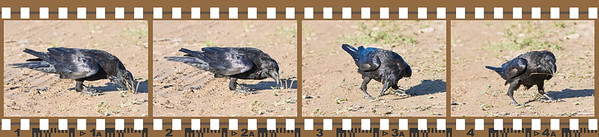 Raven, on ground, grabbing at vegetation. Four shot sequence