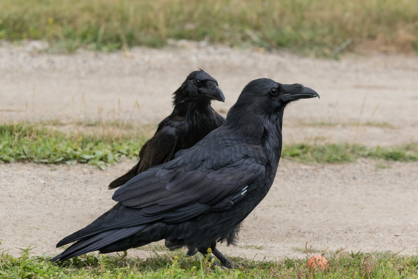 Two ravens on the driveway.