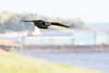 Raven in flight, wings out, feet curled. Barge in background.