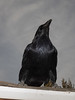 Raven standing on the roof.