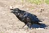 Raven, on ground, break open, slightly crouching