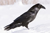 Raven standing  in soft snow