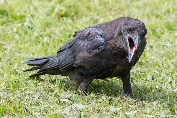 Juvenile raven with beak open looking towards camera.