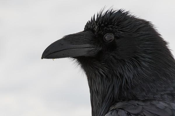 Raven, headshot. Water dripping from beak.