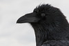 Raven, headshot. Water dripping from beak.