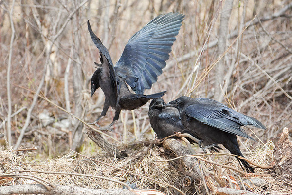 Three juvenile ravens on a pile of grass and sticks, one at left taking off.