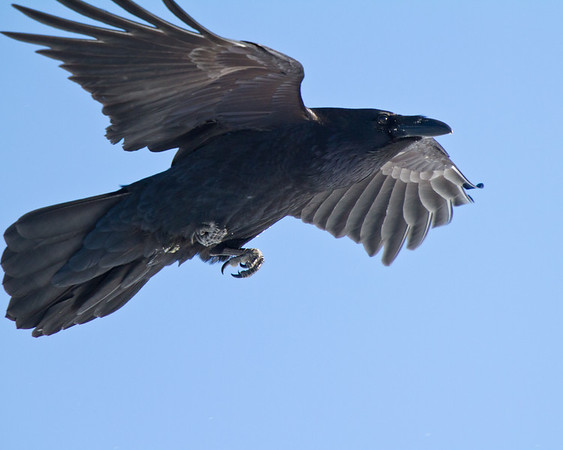 Raven in flight, one wing tip out of frame.