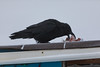 Raven eating lean ground beef on shed roof in Moosonee.p
