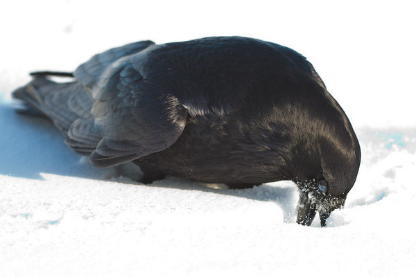 Raven on ground, digging in snow, nictating membrame partially covering eye.