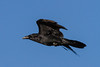 Raven in flight, side view, wings bent.