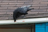 Raven retrieving and egg from eavestgrough.