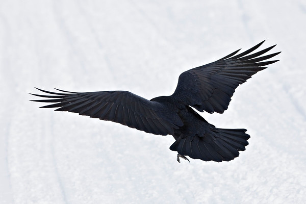 Raven, wings outstretched, about to land on the ice of the Moose River at Moosonee, view from above and behind