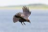 Juvenile raven in flifhgt, wing tips up, tail spread, feet pointing down.