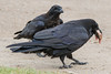 Adult raven in foreground with a piece of meat, juvenile raven behind.