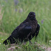 Juvenile raven on a pile of earth.