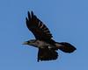 Raven in flight, side view.