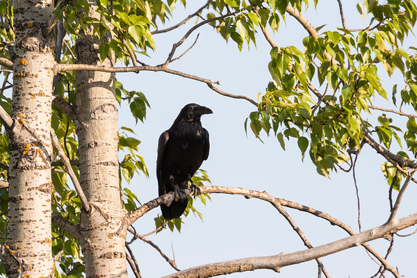 Raven sitting in a tree.