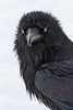 Raven on snow, nictating membranes over both eyes. Head turned. Cropped.