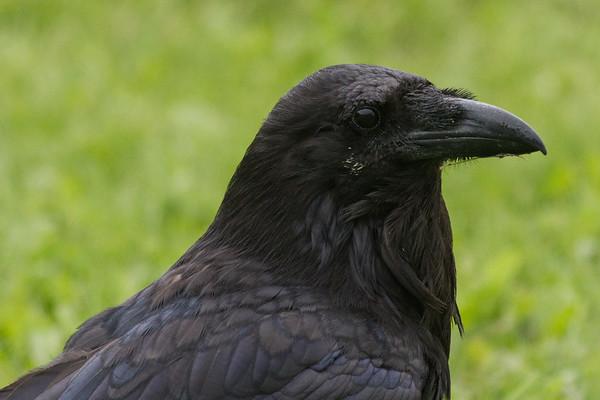 Raven on ground, headshot.