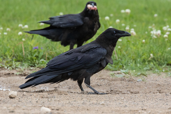 Juvenile raven in foreground, adult behind with meat (out of focus).