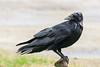 Raven on water shut off
