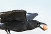 Raven in flight with egg in its beak.