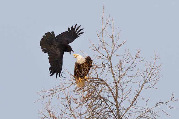 Raven flying towards bald eagle in tree 2011 May 22