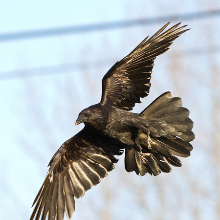 Raven in flight, one wingtip out of frame, tail spread.