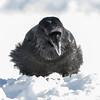 Raven enjoying some lard in Moosonee on a cold afternoon.